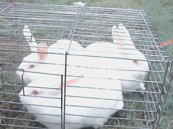 voila les 3 lapins
