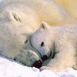 adorable cette maman ourse et son petit