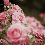 je vous offre ces fleurs tous mes amis de ma liste