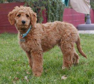 Top Poodle Crossbreeds