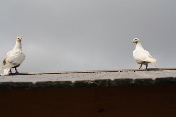 pourquoi les pigeons se perdent ils parfois?