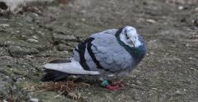 ou passe nos pigeons égarés??