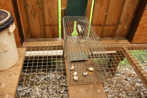 les prédateurs de nos pigeons.