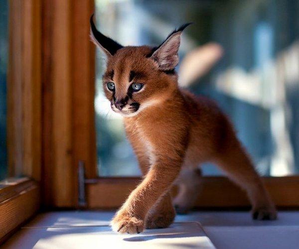 Oui, je sais ; il ne ressemble pas à un chaton,mais il est trognon quant même