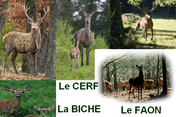 le cerf la biche et le faon blog de balladesenmontagne. Black Bedroom Furniture Sets. Home Design Ideas