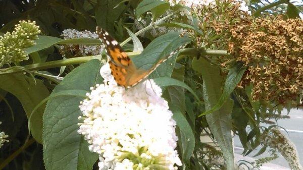 Butterfly 's
