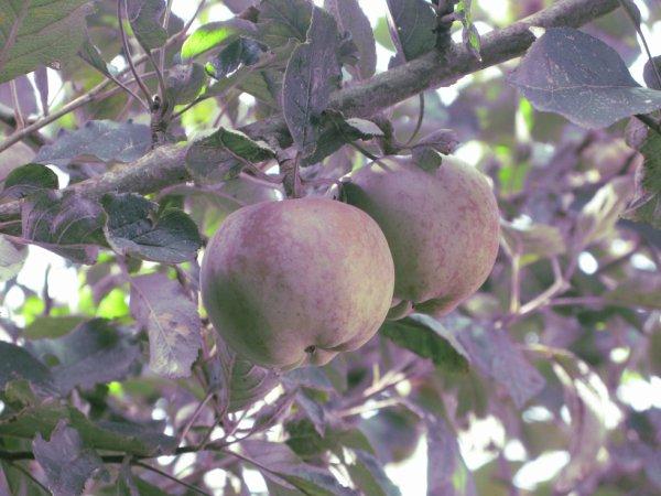 Pommes.