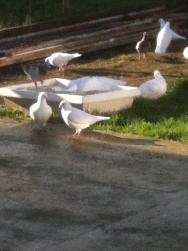 les pigeons au bain
