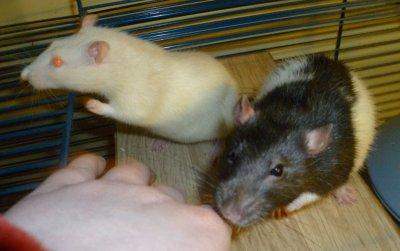 Les rats à  Emilie