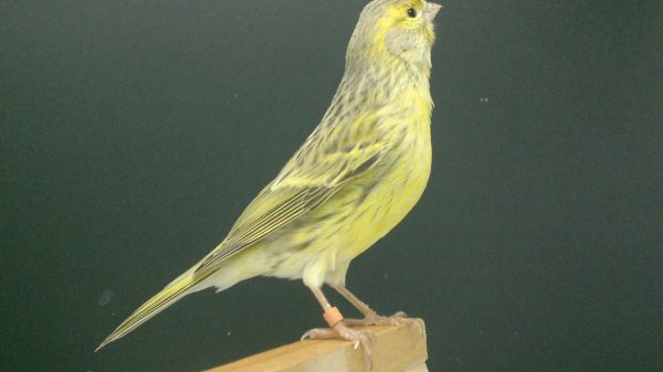 hembra agata amarilla potadora de topacio amarillo