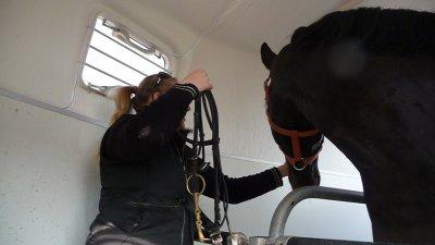 transport d'un jeune cheval de dressage
