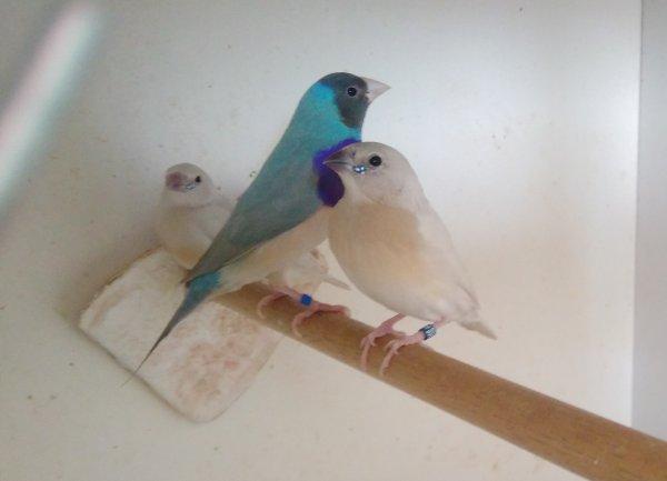 enfin des petits bleus qui sortent juste du nid, élevage parents