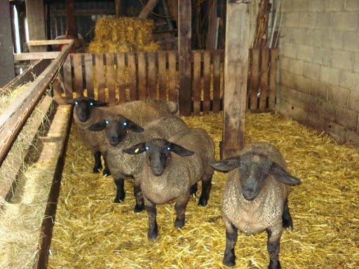 Mes agnelles 2014