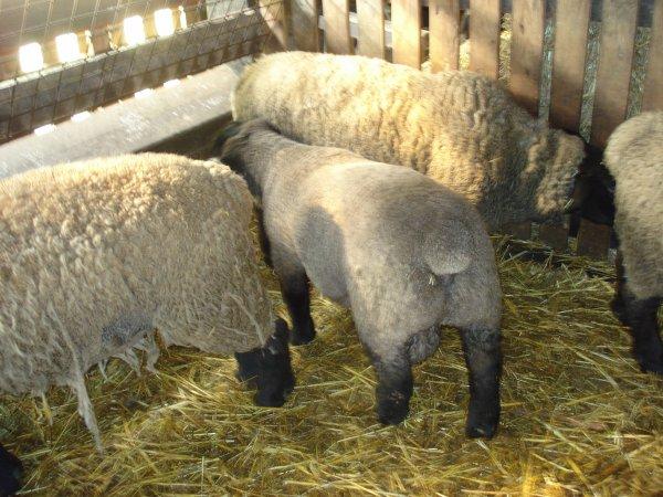 Agneaux et agnelles à vendre de race Suffolk 2018