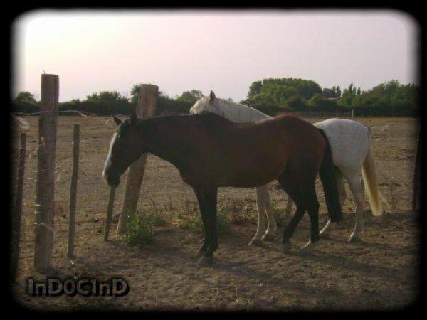 Admirez les chevaux Camarguais