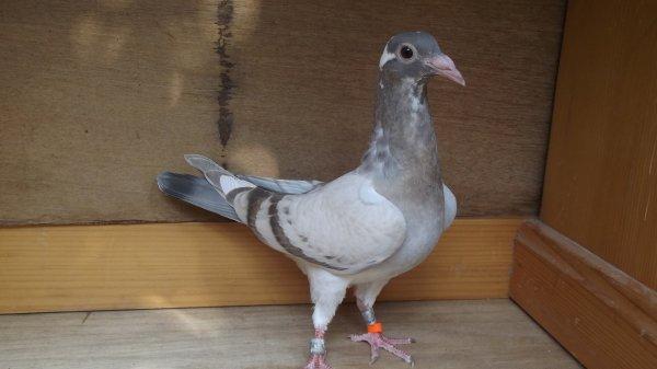"Un pigeon qui va faire un ""envieux"" lol"