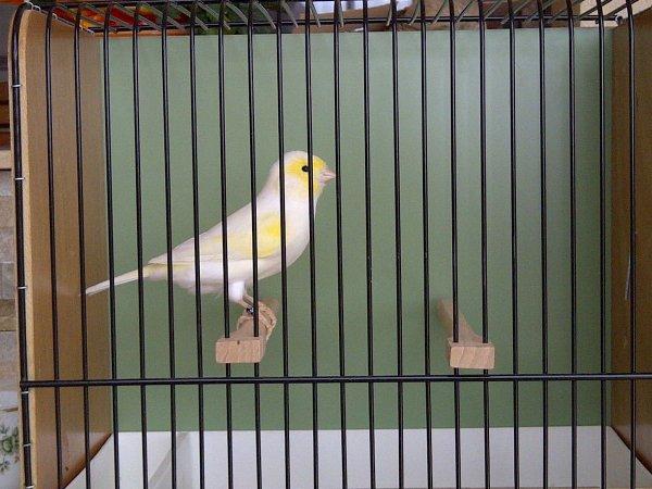 yellow mosaic male 2013