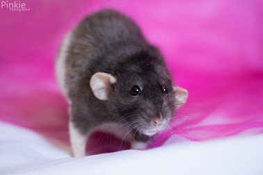 """• """"Si les rats pesaient 20 kilos, ils seraient les maîtres du monde""""  ▬ Albert Einstein•"""
