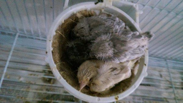 nid mixte (2 gloster un satiné et un vert et 2 noire opale mosaique rouge)