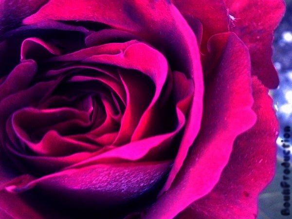"""J'offrirais une rose à tout les êtres humais qui reussissent à trouver leur """"grand amour""""."""