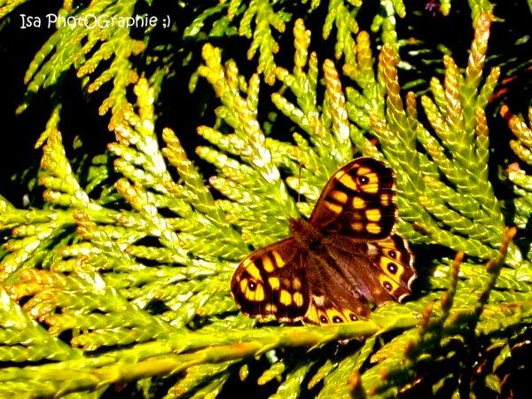 Papillon :D