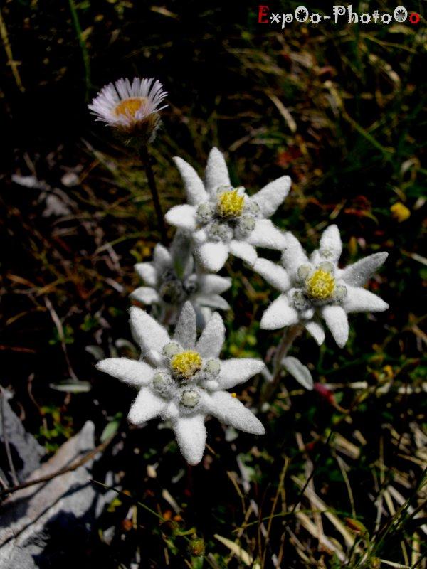 Edelweiss : )
