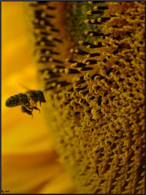 <== Sois comme la fleur, épanouis-toi librement et laisse les abeilles dévaliser ton coeur ! ==> ( Râmakrishna )