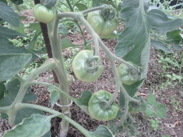 progression tomates