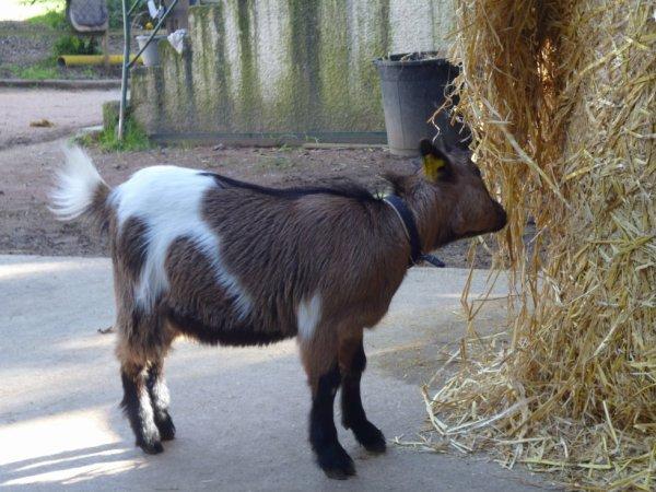 notre petite chèvre