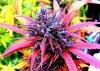 bud purple