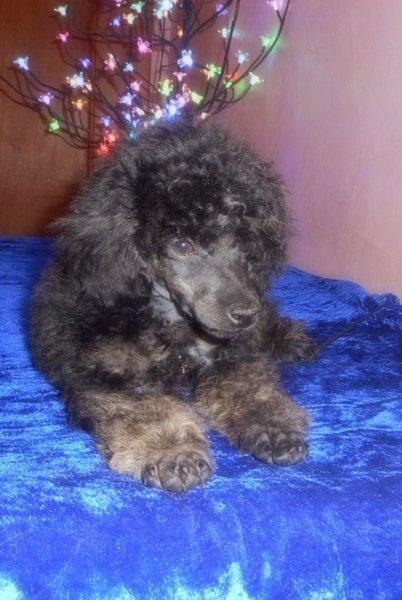 Le petit VIZIR, trop beau ce chiot !(1)