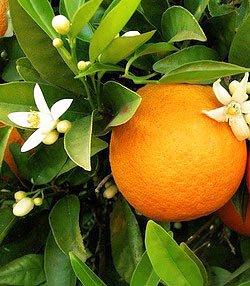 La fleur d'oranger et ses vertus