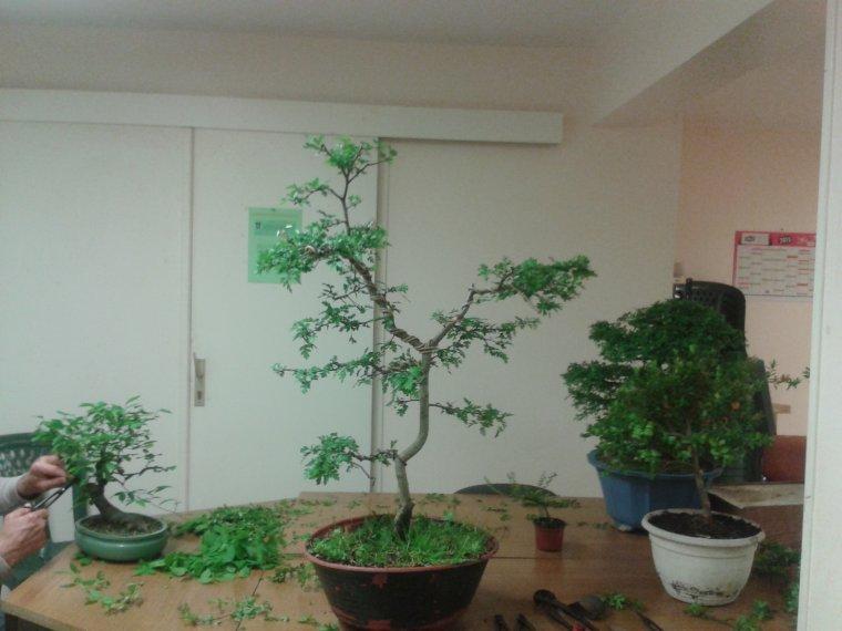 photo étape par étape  Formation de mon Aubépine de mon ancien Saikei  suiite