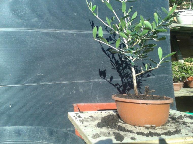 bouture d 39 un olivier et mise en forme bonsai et ses d riv es niwaki art taupi re. Black Bedroom Furniture Sets. Home Design Ideas