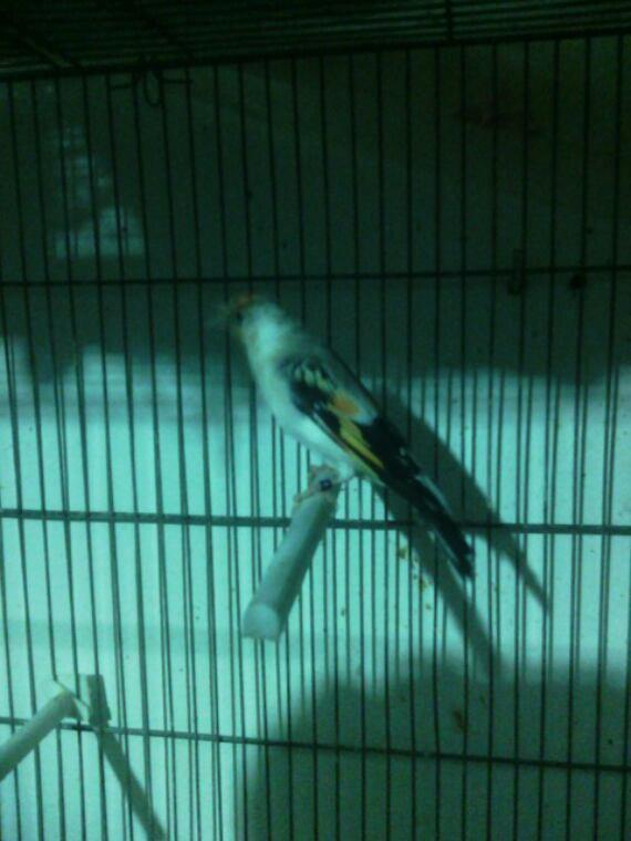 Couple chardon ,mâle porteur de satiné fem tète blanche