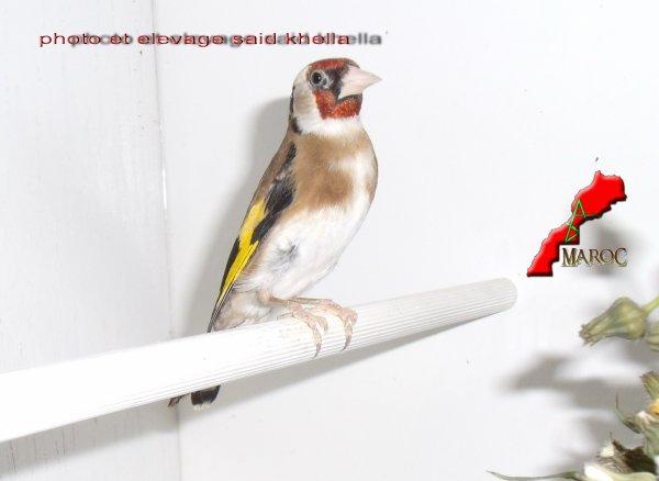 Le chardonneret est un élégant passereau un peu plus petit qu'un moineau qu'on reconnaît à son plumage composé d'un mélange de brun clair, de noir, de blanc, de doré et de rouge, produisant une cascade de couleurs au moindre mouvement. Les deux sexes sont semblables. Son dos est brun chamois, sa poitrine et son ventre sont bruns, mélangés à du blanc et son croupion blanchâtre. Il a des ailes noires avec barres alaires jaune vif, particulièrement visibles en vol. Sa queue noire et blanche est fourchue. Il porte une tache rouge sur la face. Toutefois cette tache rouge est un peu moins étendue chez la femelle. Avant octobre, les jeunes chardonnerets n'ont pas encore les dessins caractéristiques des adultes. Ils ne portent pas de rouge sur la face et ont un plumage brunâtre et rayé. Le chardonneret élégant a un bec conique et pointu, spécialement adapté pour prélever les graines des plantes comme le chardon, ce qui lui vaut son nom