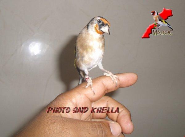 un joli chardonneret abrés la mue kenitra maroc 2012