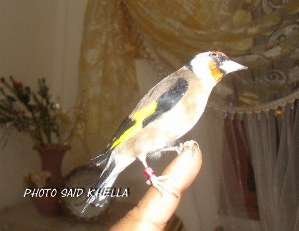 pour moi le chardonneret c le meillere oiseaux