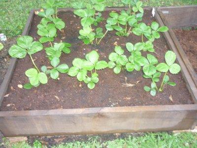 les fraises de mon jardin