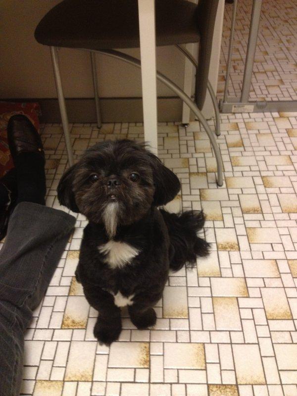 Merci Carine, pour les belles photos de Gysmo! Toiletté chez Elégance dog avec sa barbiche de mandarin
