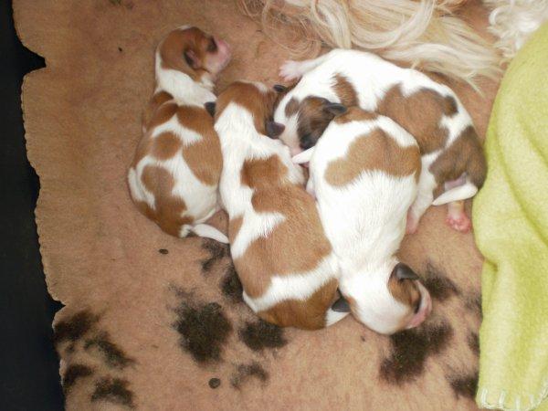 shih-tzu chiots a réserver: les bébés de Lukum