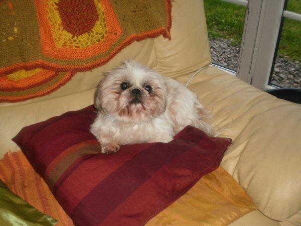 Ma jolie Pinky, petite shih-tzu mini de 11 an. Une petite boule d'amour!