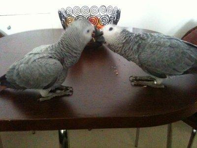 Booba et Mara mes gris du Gabon ^^