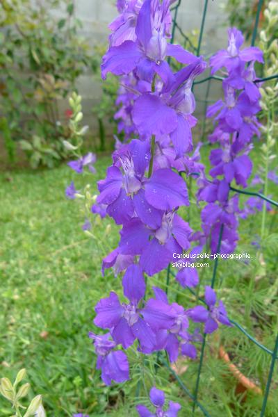 Iris violette