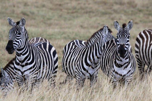 Zebres ngorongoro