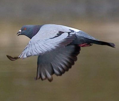 """Résultat de recherche d'images pour """"vol de pigeon"""""""