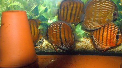 Discus sauvages !!!!