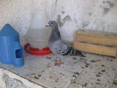 Fotos de mis palomas.
