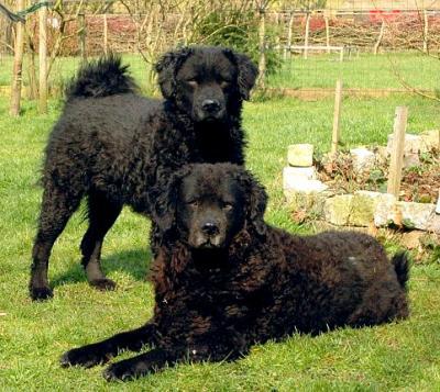 club de race chien d'eau portugais
