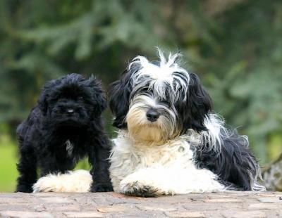 Terrier du Tibet ou Dhoki Apso